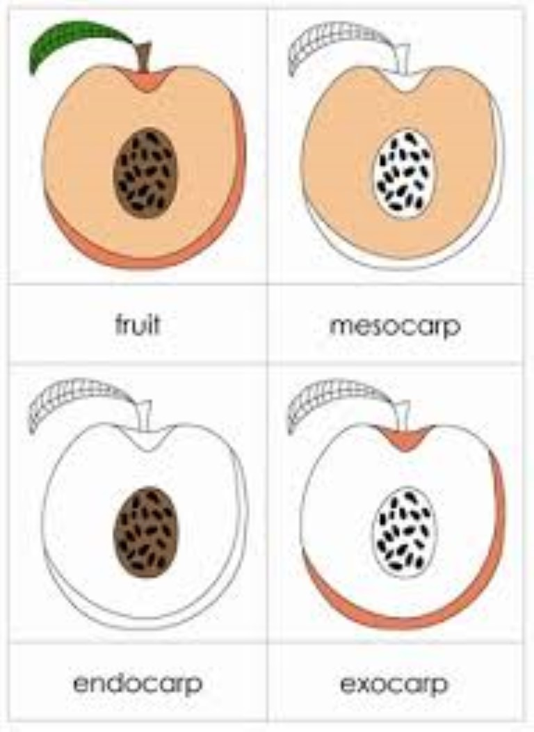 Parts of the Fruit