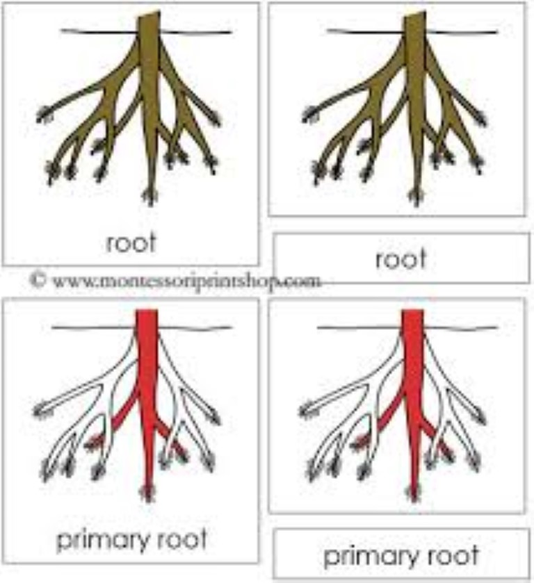 Parts of the root